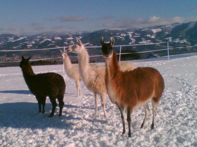 Lavanttal-und-Lama_winter2009